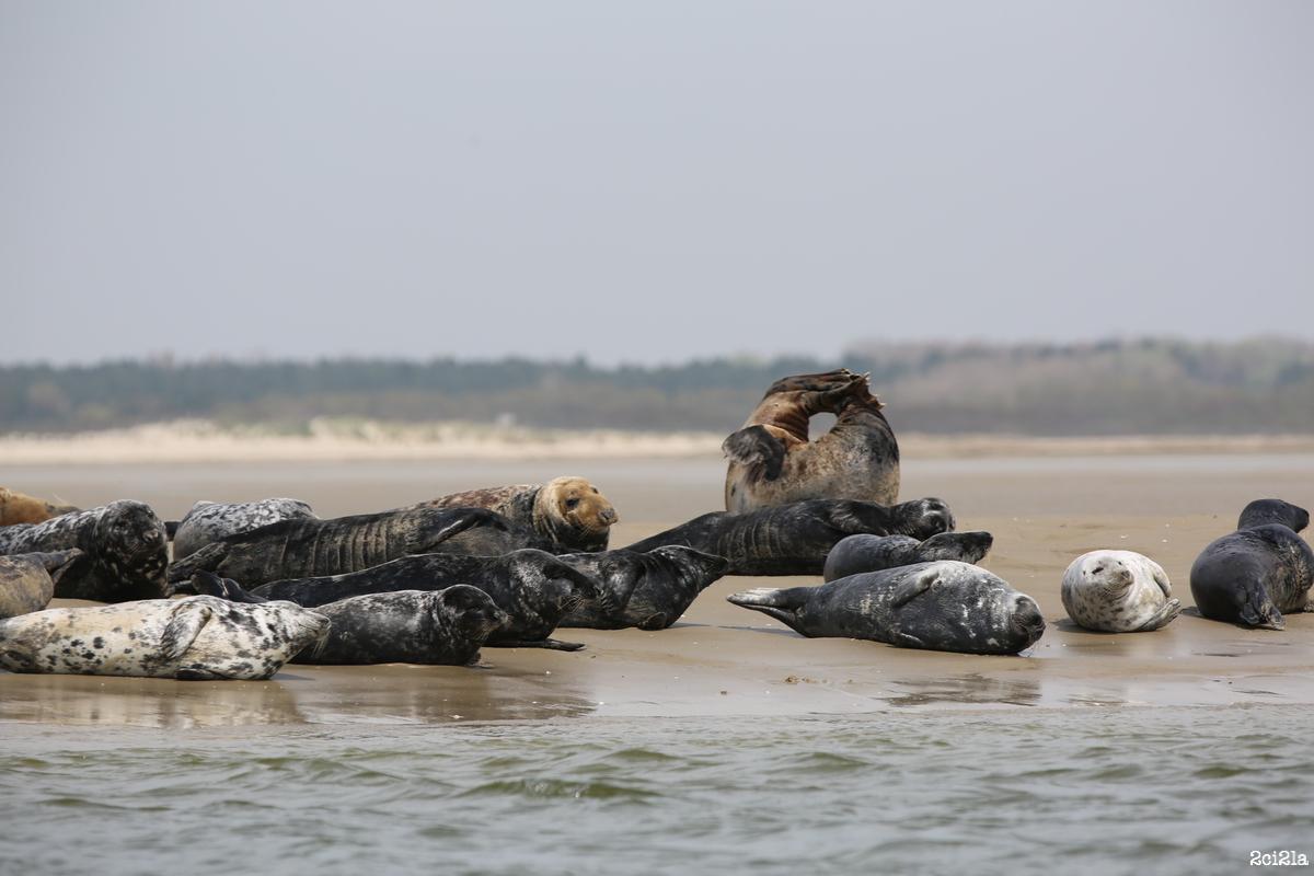 Phoques gris. Mai 2016
