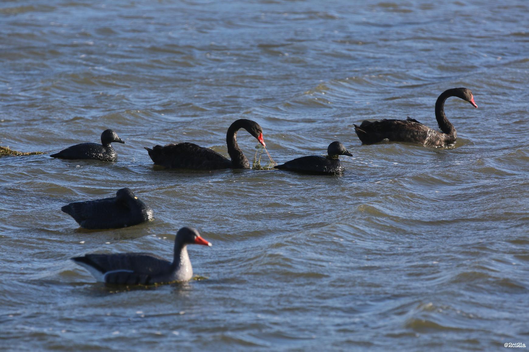 Cygnes noirs en quête de nourriture au milieu d'un attelage de blettes de chasse. Novembre 201