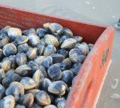 La pêche aux coques reste interdite à Cayeux